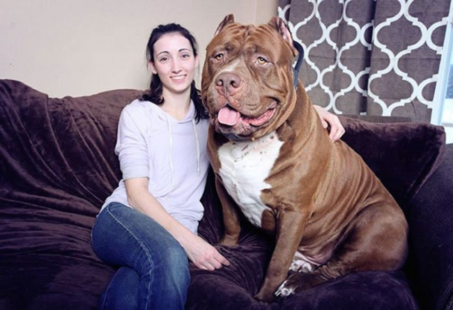 This is the largest pit bull in the world (1)