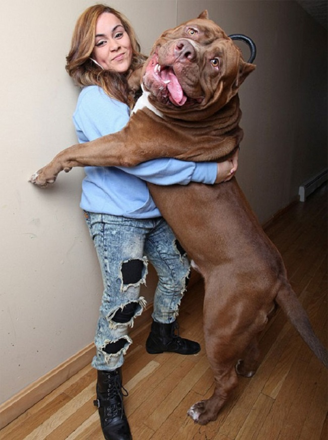 This is the largest pit bull in the world (10)