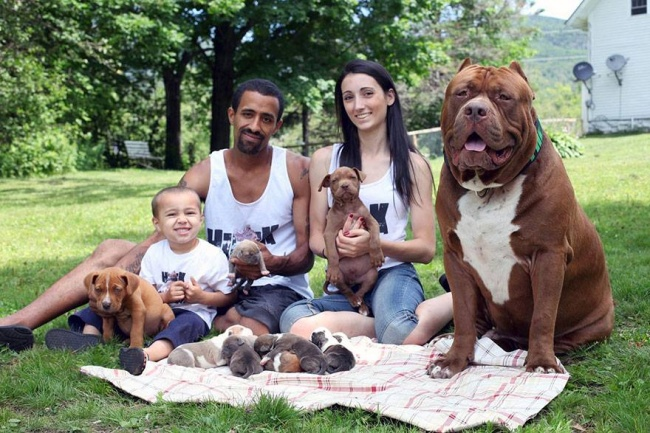 This is the largest pit bull in the world (2)