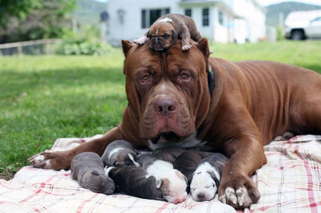 This is the largest pit bull in the world (3)