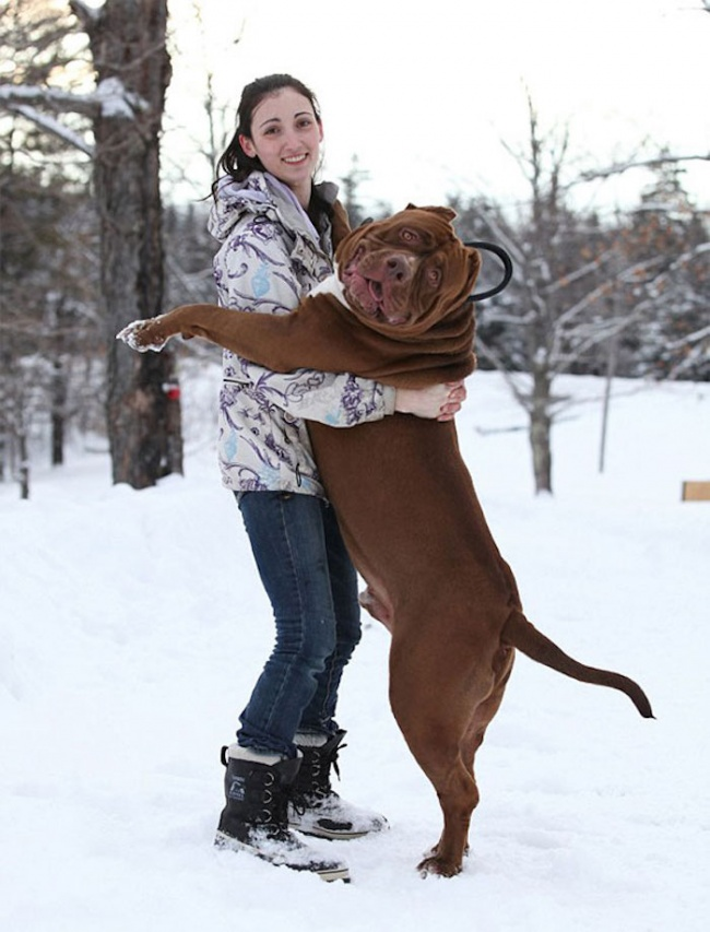 This is the largest pit bull in the world (5)