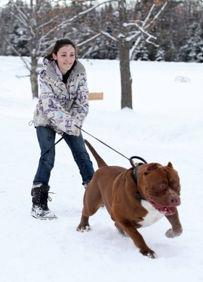 This is the largest pit bull in the world (6)