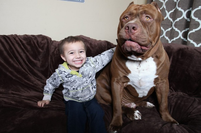 This is the largest pit bull in the world (9)